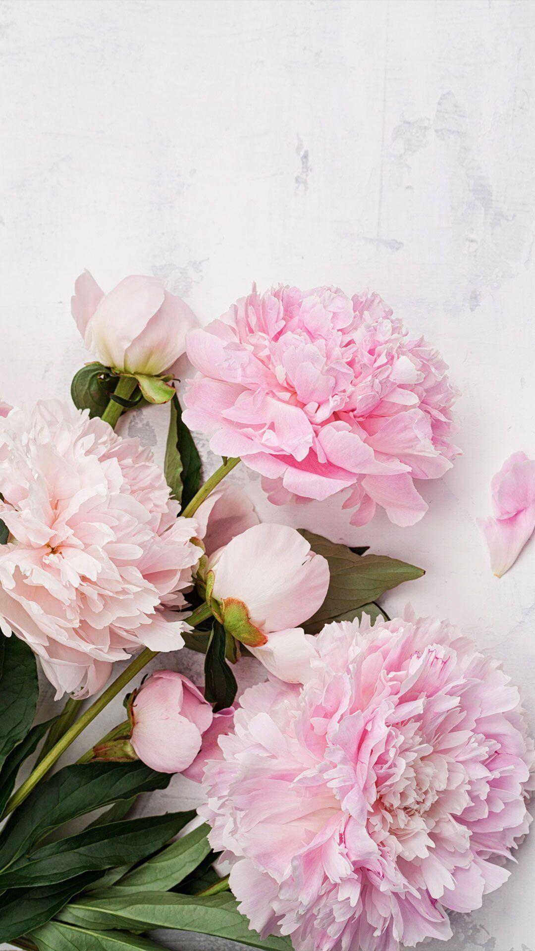 Rózsaszín pünkösdi rózsa 💙 Bazsarózsa, Virágos