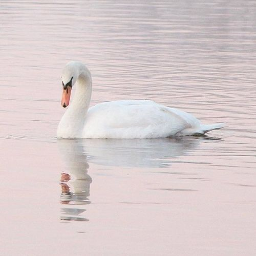 Photo of Swan lake.