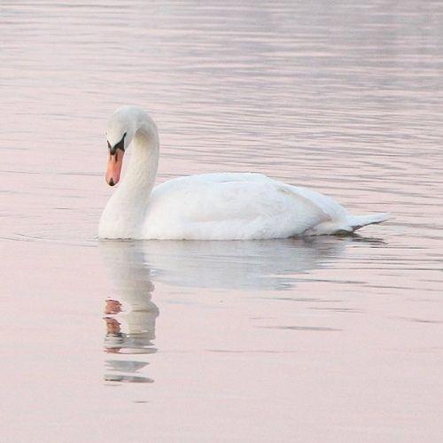 Photo of Swan lake.