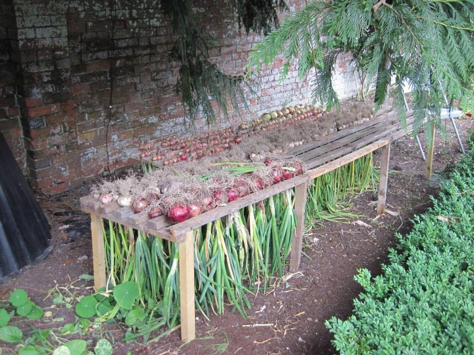 Drying Onions Gardens Jardins Potager Et Jardins Potagers