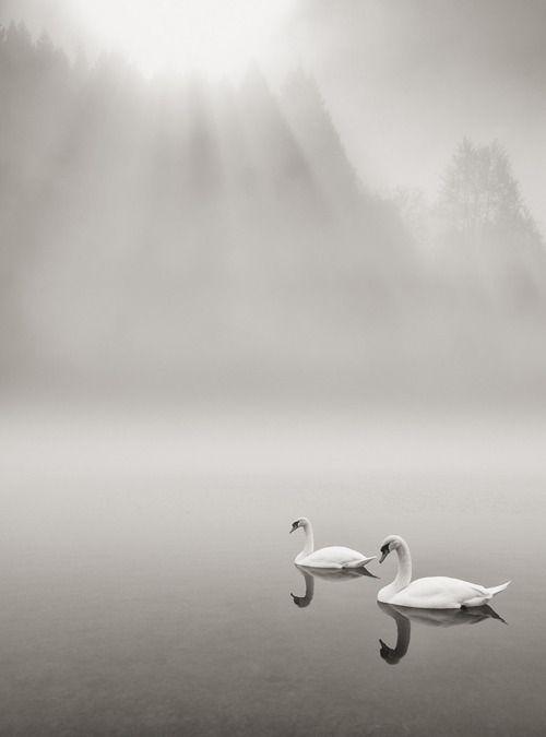 Cisnes ...