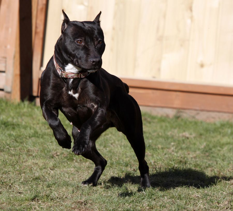 Passion Caragan Kennel American Pit Bull Terriers dog
