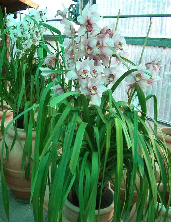 Orchidee Da Esterno.Cymbidium Da Argraria Org Consigli Di Coltivazione
