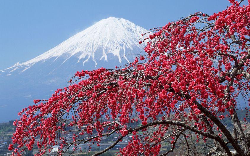 дерево, Гора, сакура, фудзияма, япония, снег, пик