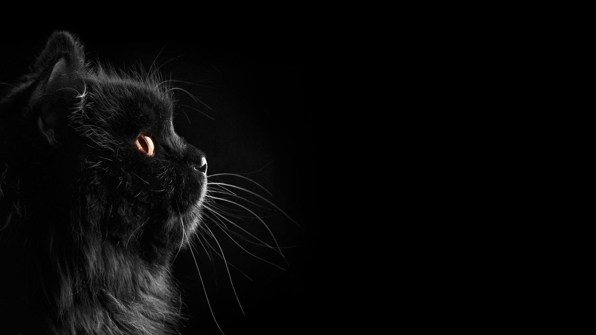 Long Furred Black Cat Cat Black Cats Black Dark Selective Coloring Black Background 1080p Wallpaper Hdwallpaper Desk In 2020 Cat Dark Black Cat Animal Wallpaper