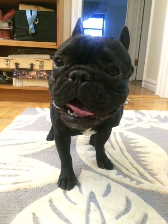 Buckminster Diaries The Story Of A French Bulldog With Images