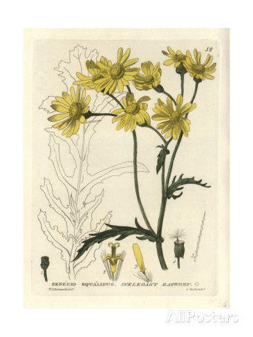 Oxford Ragwort, Senecio Squalidus, From William Baxter's British Phaenogamous Botany, 1834 Giclee Print