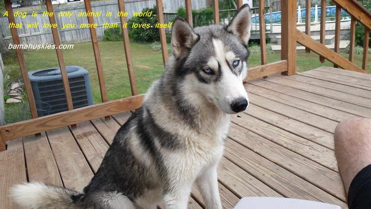Grey And White Husky With Blue Eyes From Www Bamahuskies Com An