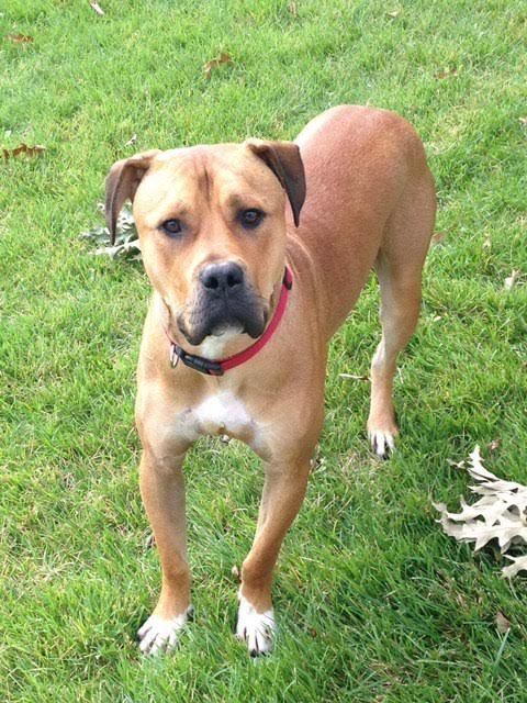 BullBoxer dog for Adoption in Columbia, MD. ADN672765 on