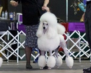 Geni Or Empire 12 Akc White Standard Poodle In A Continental Clip