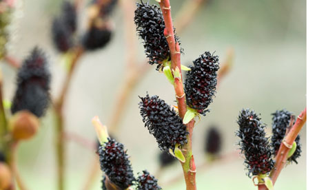 black pussy willows Mar 2015  Few small trees or large shrubs are as easy to grow as the pussy willow.