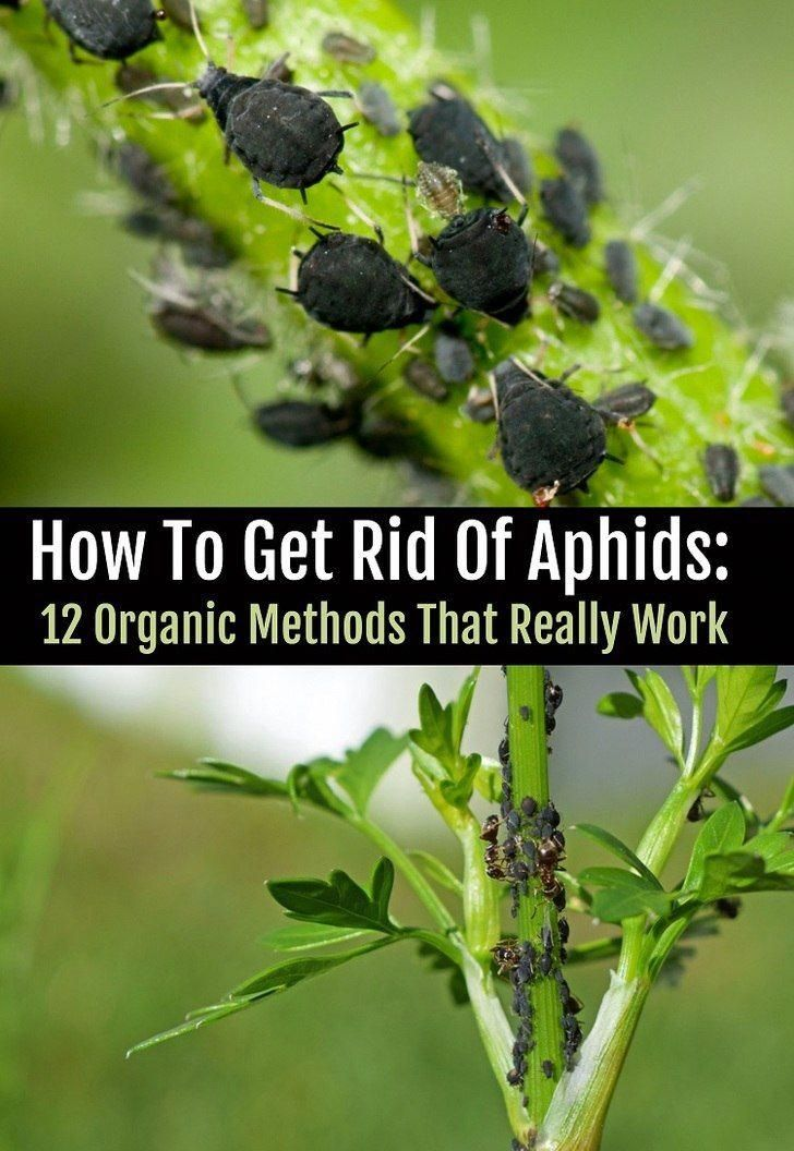 Aphids destroying your plants heres how to get rid of