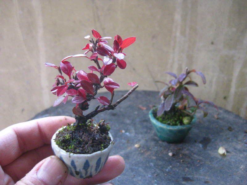 盆栽:小町バラのミニ盆栽の画像 | 春嘉の盆栽工房