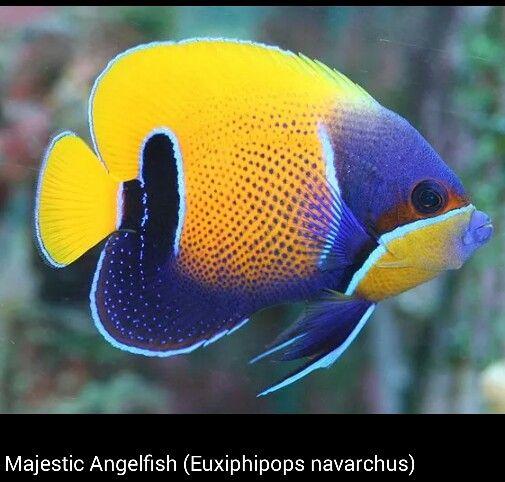 An Ocean Jewel | Angel fish, Pet fish, Aquarium fish