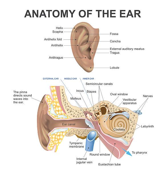Anatomy Of The Ear Anatomy Inner Ear Human Ear Middle Ear Part