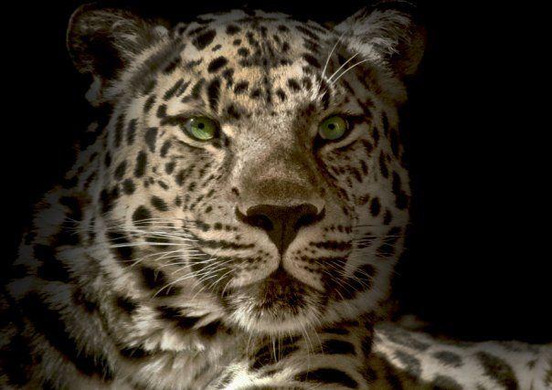 Denver Zoo, Leopard