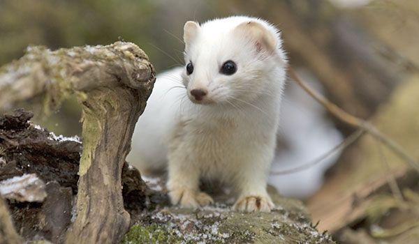 Google Image Result For Http Nature Ca Notebooks Images Img 127 P Ermine 4890 怖い動物 野生動物 自然動物