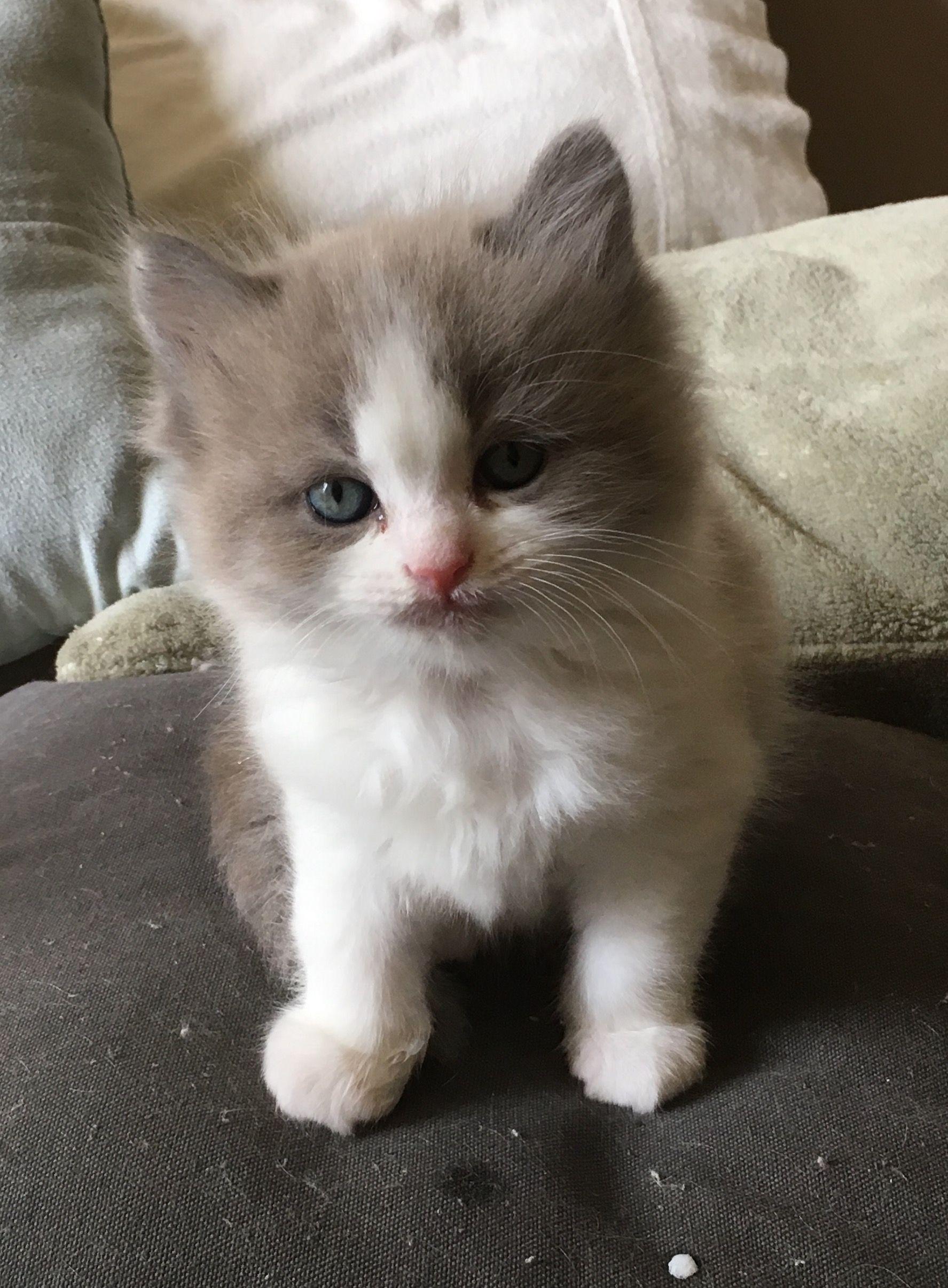 RagaMuffin kitten of Sweetlilpaws Chats Pinterest