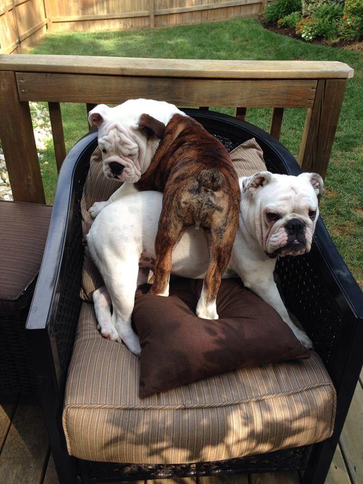 Seating Complications Posted On English Bulldog News On