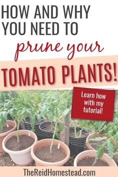 Learn all about why you should learn your tomato plants, and how to do it correctly! #pruningtomatoes #growingtomatoes #vegetablegardening #gardeningtips #thereidhomestead