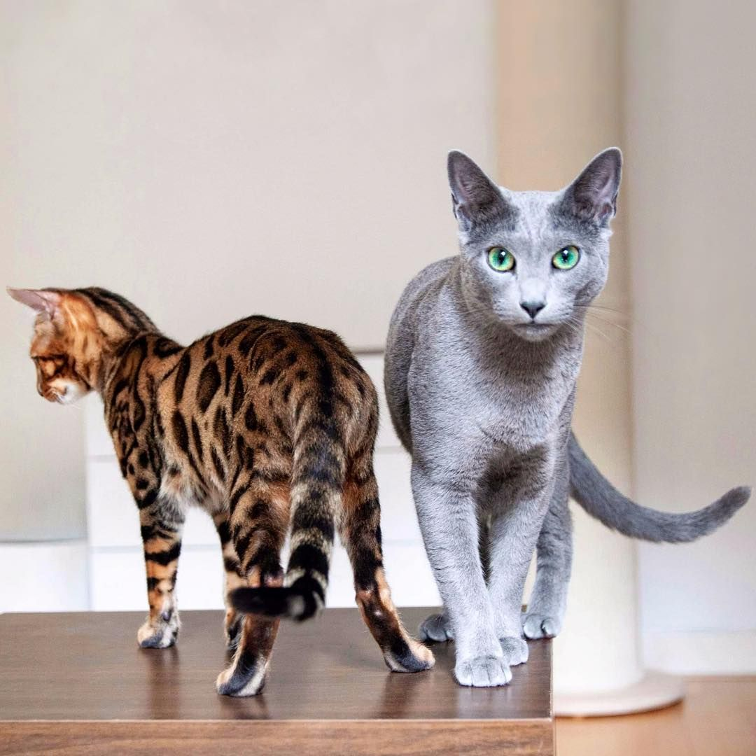 """Russian Blue & Bengal boys on Instagram """"Failed family"""
