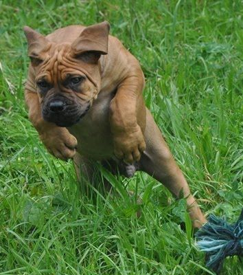 Boerboel Puppy, http://boerboelfarmdog.blogspot.com/  http://www.shopforpuppy.com/
