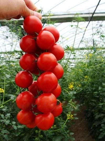 100Pcs Climbing Tomato Edible Tomato Bonsai Vegetable 400 x 300