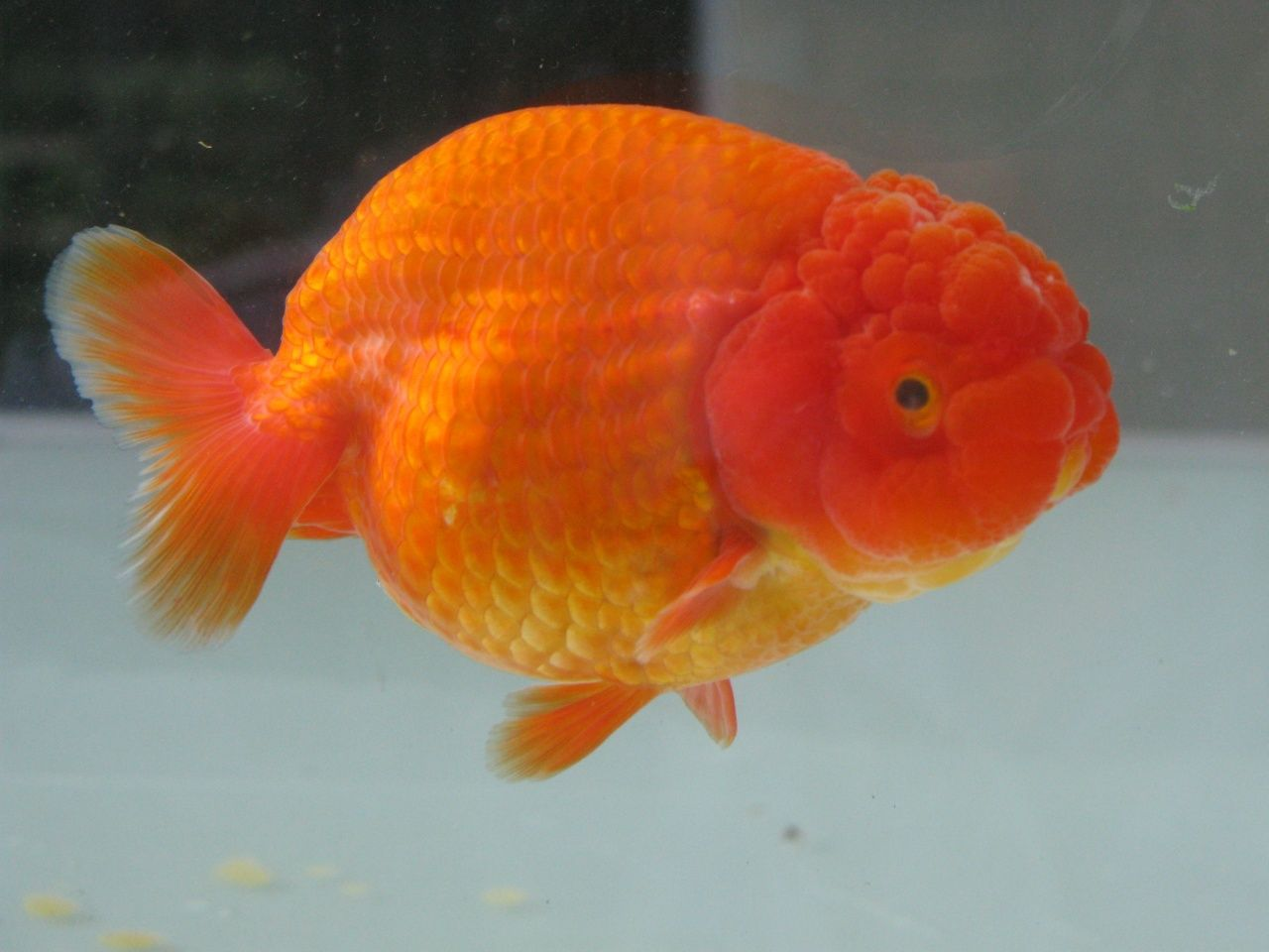 Pin By ปลาทอง ประเทศไทย On Goldfish แปลว า ปลาทอง Opera