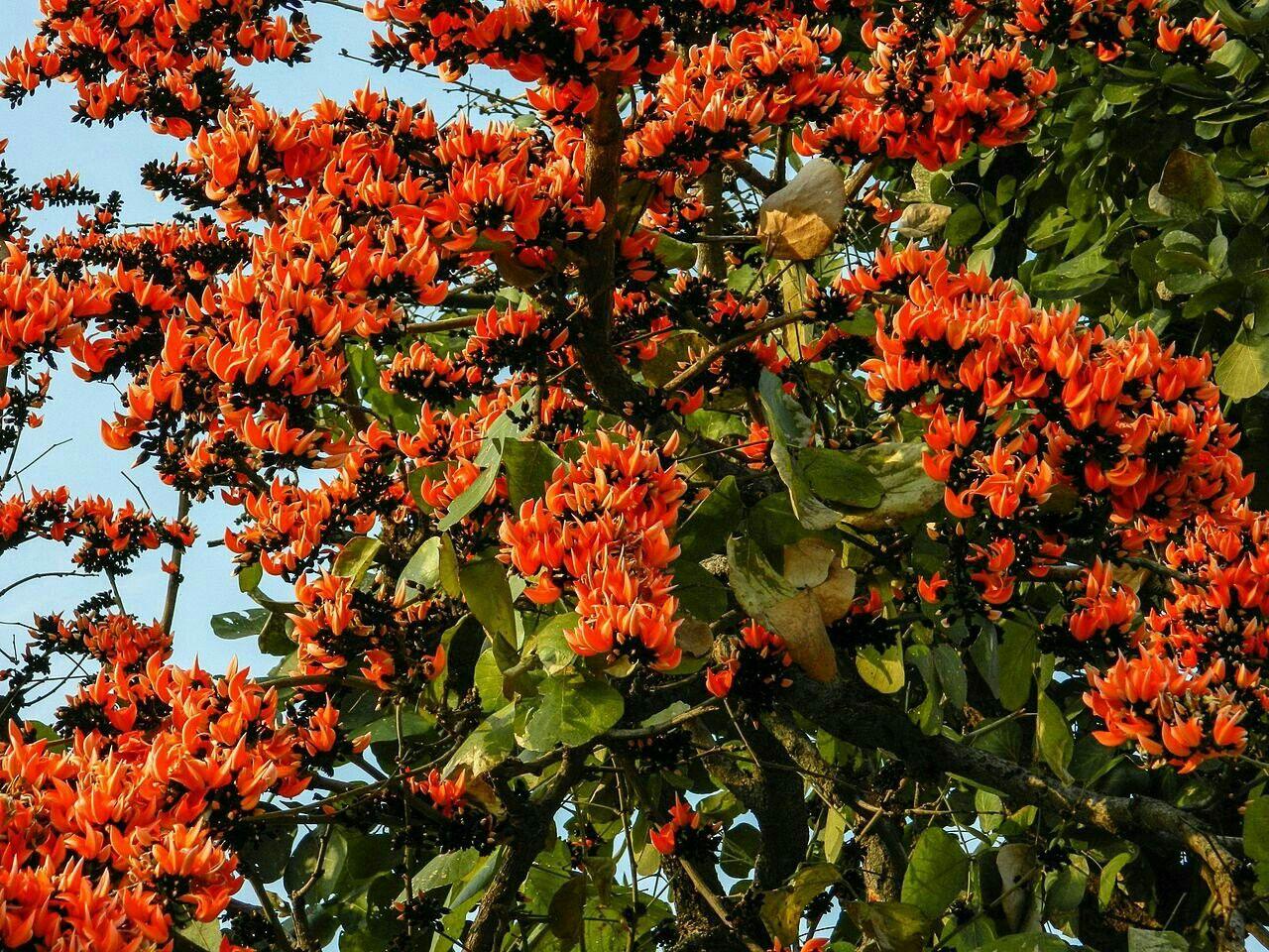 Palash Flower Flowering Trees Organic Raised Garden Beds Tree Images
