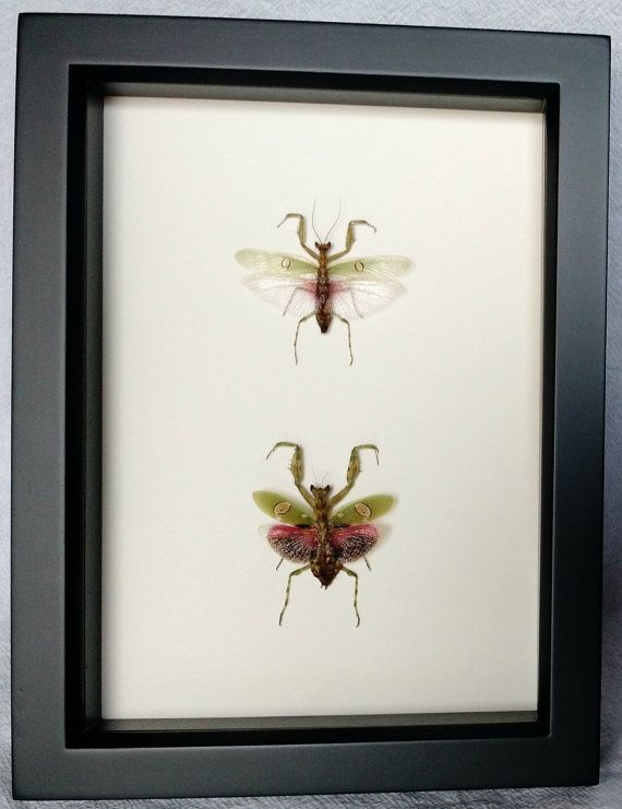 Real Framed Praying Mantis Pair Male And By Theartsyarthropod Frame Praying Mantis Make Arrangements