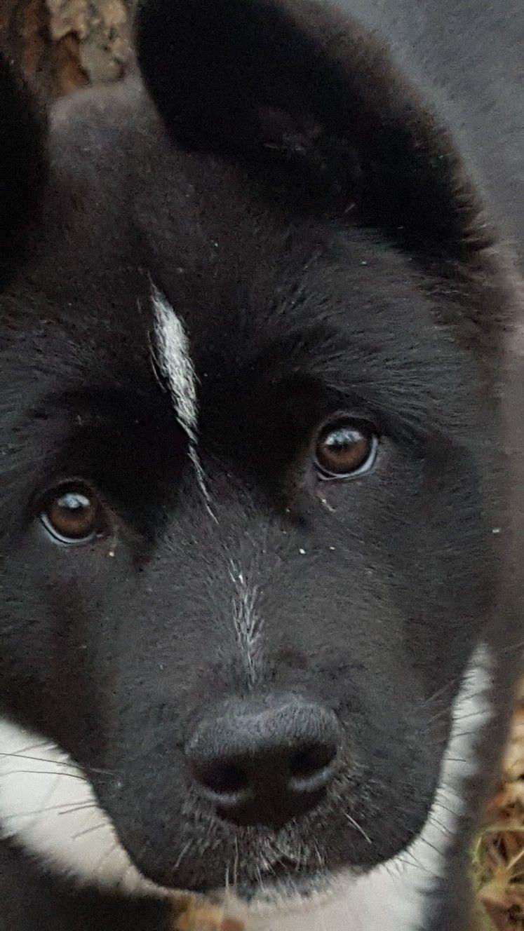 Our American Akita Luna 4 Months Old Akita Puppies Akita Dog