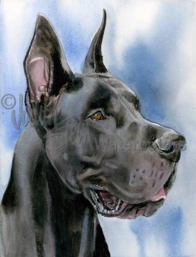 Great Dane Black Docked Ears Apollo Akc Working Pet Portrait