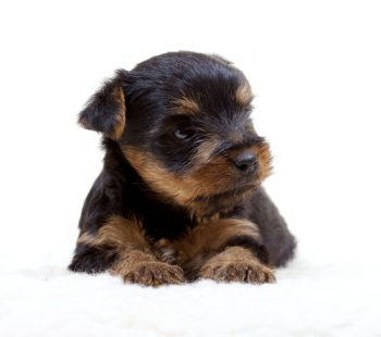 Yorkie Colors All Yorkie Puppies Are Born Black And Tan These 2 Colors Will Be Combined Somewhat The Percentage Of T Yorkie Yorkie Puppy Yorkshire Terrier
