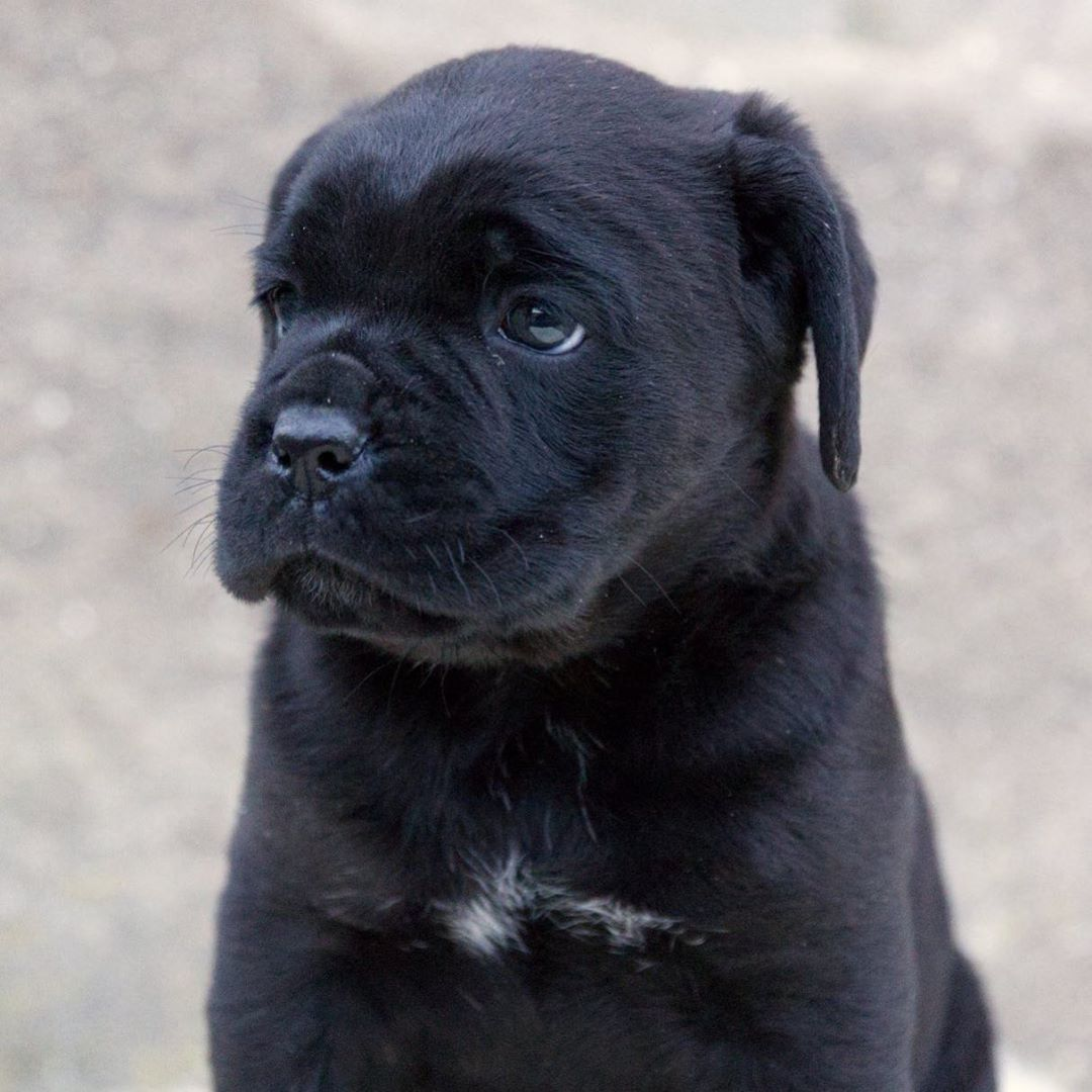 Canine Ear Infections And Your Dog India Promessa Di Futuro Canecorso Canecorsolifestyle Canecorsofans Canecorsomania Canecorsoblac Dog Illnesses Cane Corso Dogs Ears Infection