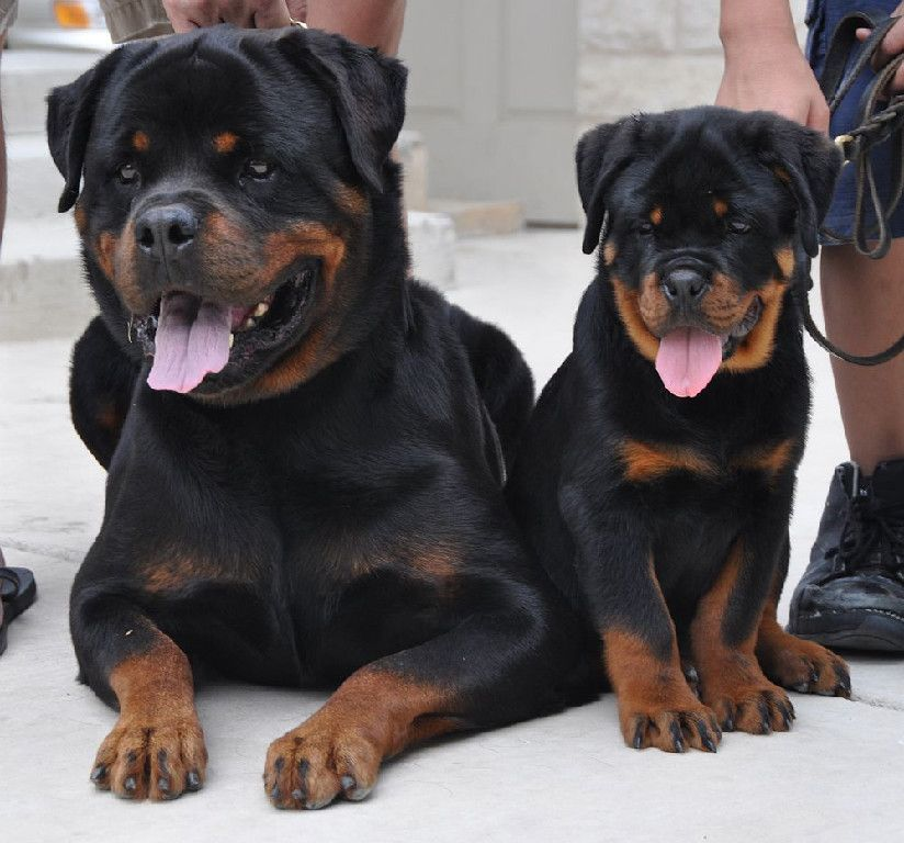 Father Son River City Rottweilers Rottweiler Puppies For