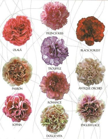 New Carnation Varieties What Do You Think Rose Of Sharon Event Florist Carnation Flower Colorful Wedding Flowers Flower Farm