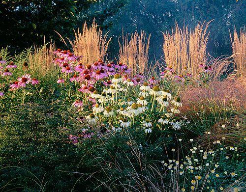 landreitgras calamagrostis 39 karl foerster 39 echinacea purpurea und echinacea purpurea 39 white. Black Bedroom Furniture Sets. Home Design Ideas