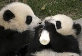 Pandas bebes con biberón