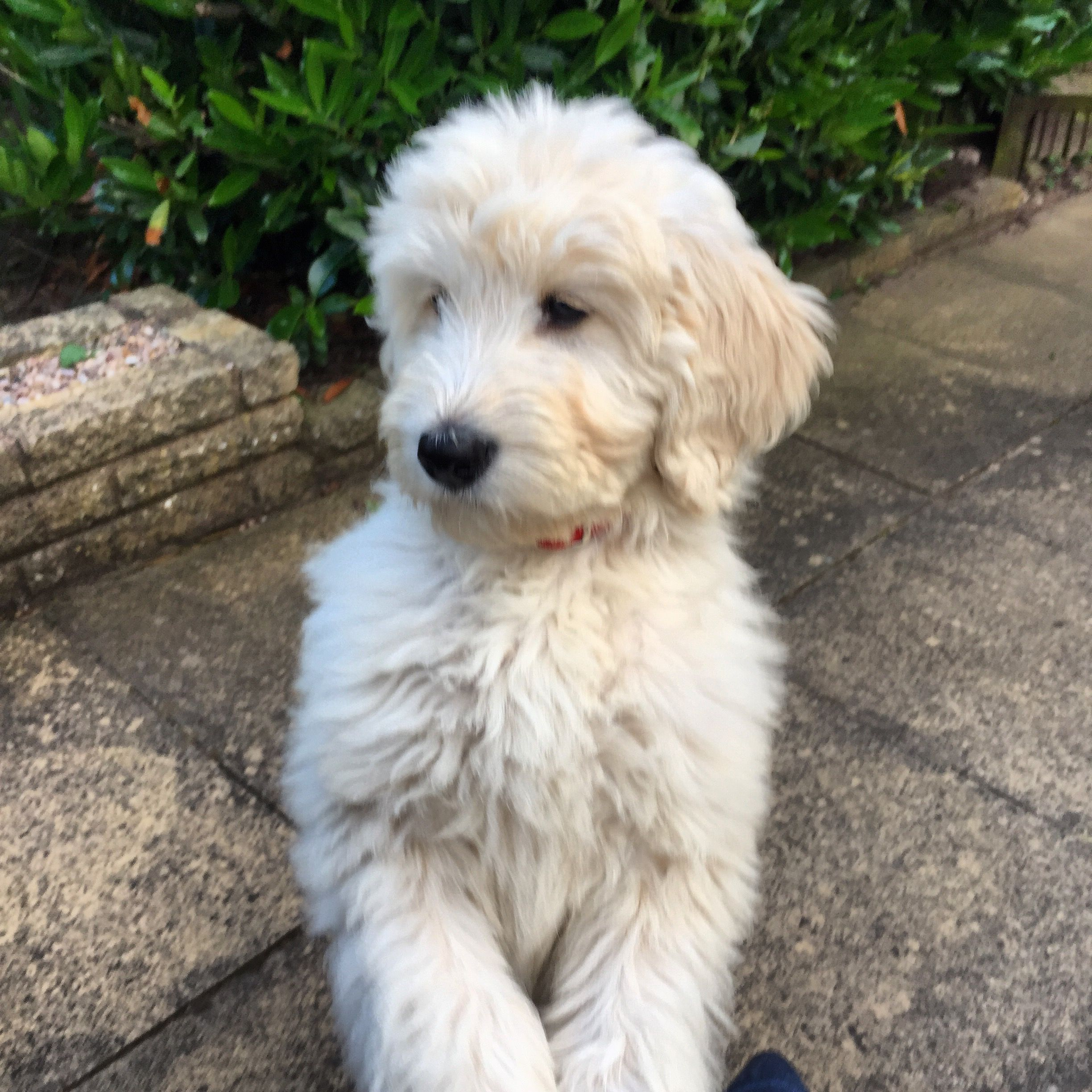 12 weeks Schnoodle, Puppy paws, Goldendoodle