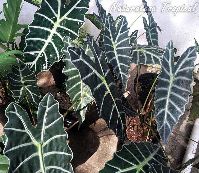 La planta cara de caballo o cara de burro alocasia for Plantas ornamentales y sus cuidados