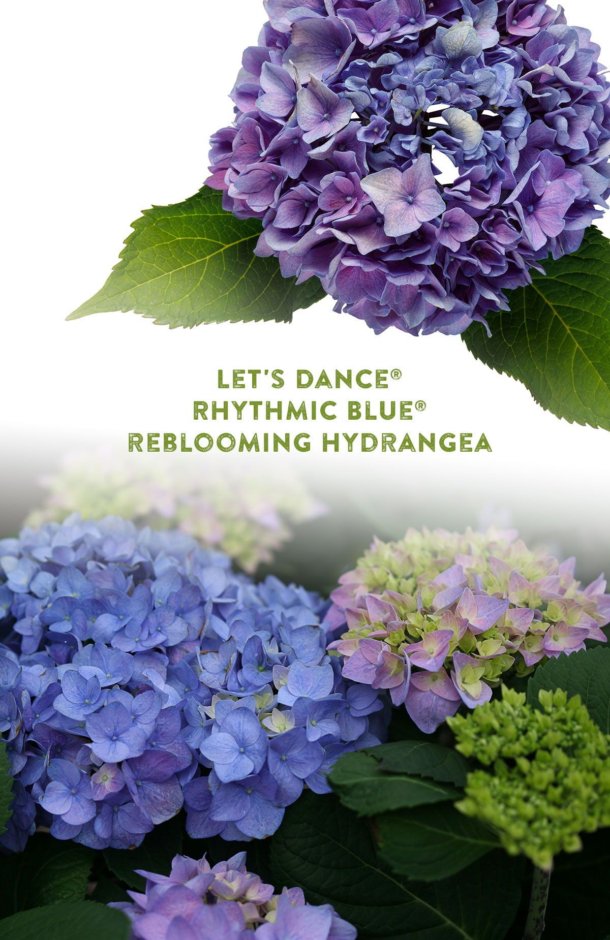 Let S Dance Rhythmic Blue Reblooming Hydrangea Hydrangea Macrophylla Proven Winners In 2020 Reblooming Hydrangeas Hydrangea Hydrangea Landscaping