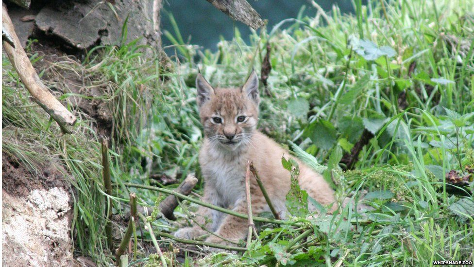A lynx cub at Whipsnade Zoo