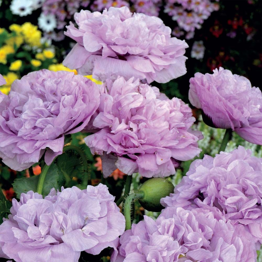 Poppy Candy Floss A Truly Fabulous New Exclusive Introduction From Thompson Morgan Huge 7 10 Flower Seeds Purple Flowers Garden Dried Flower Arrangements