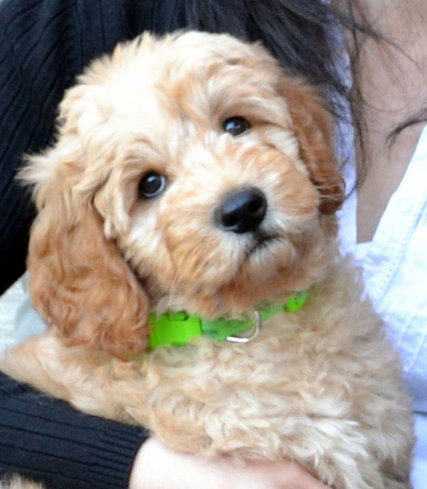 Puppy Availability Cockapoo Puppies Puppies Australian