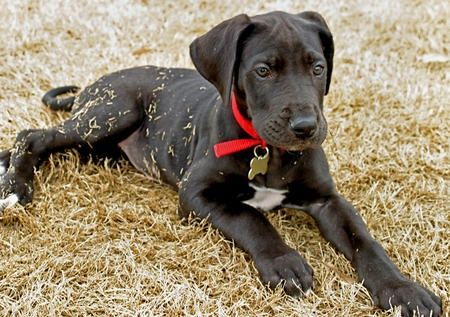 pitbull great dane mix | Found on dailypuppy.com