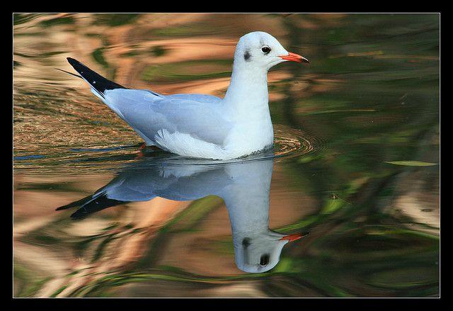 Blackheaded gull | Endless Wildlife
