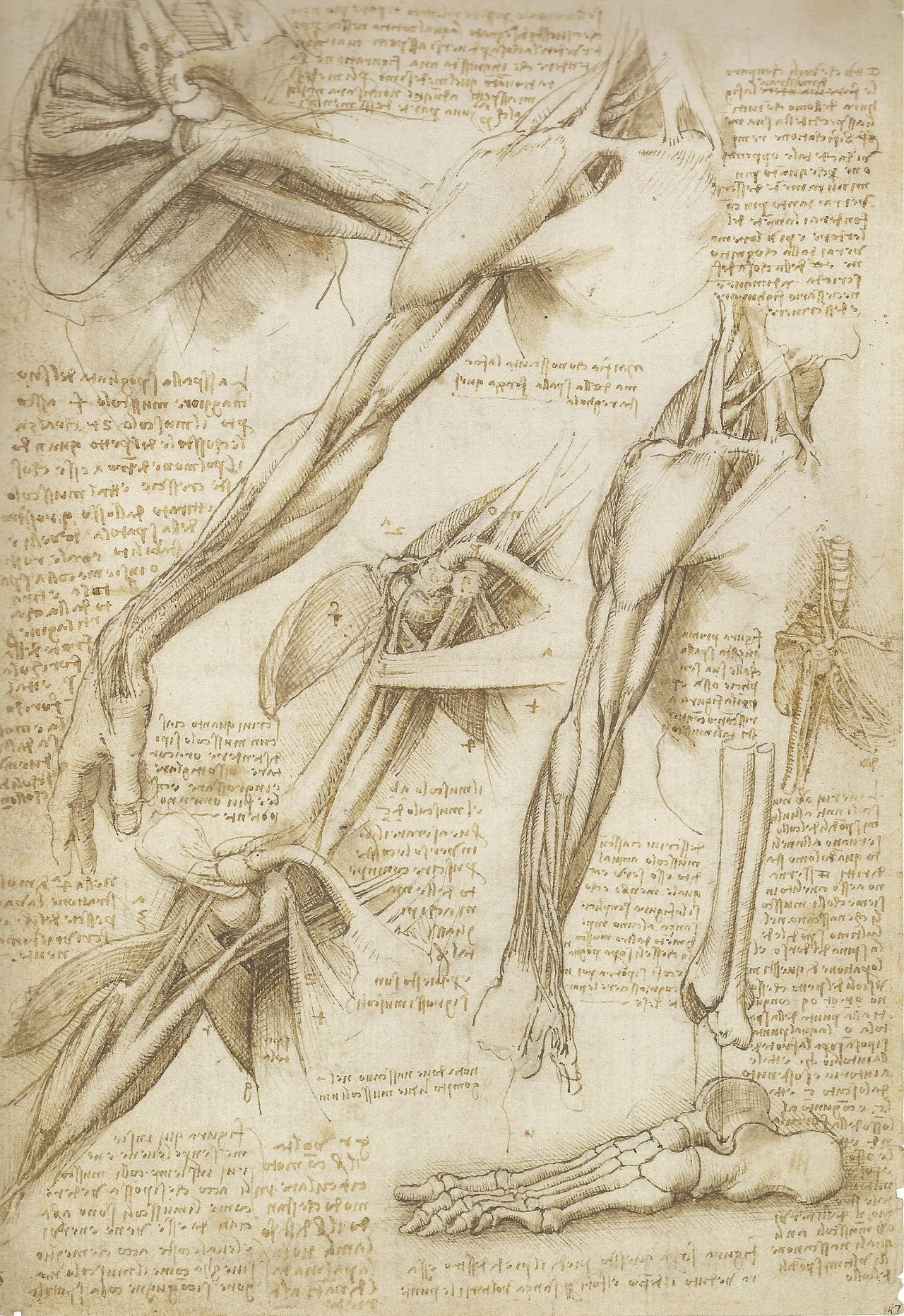 Leonardo da Vinci Mechanics of Man | REF: Anatomy | Pinterest ...