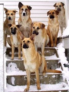 Image result for chinook dogs images
