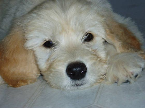 The Paw Pad Deer Creek Il Goldendoodle Breeders Cute Puppies