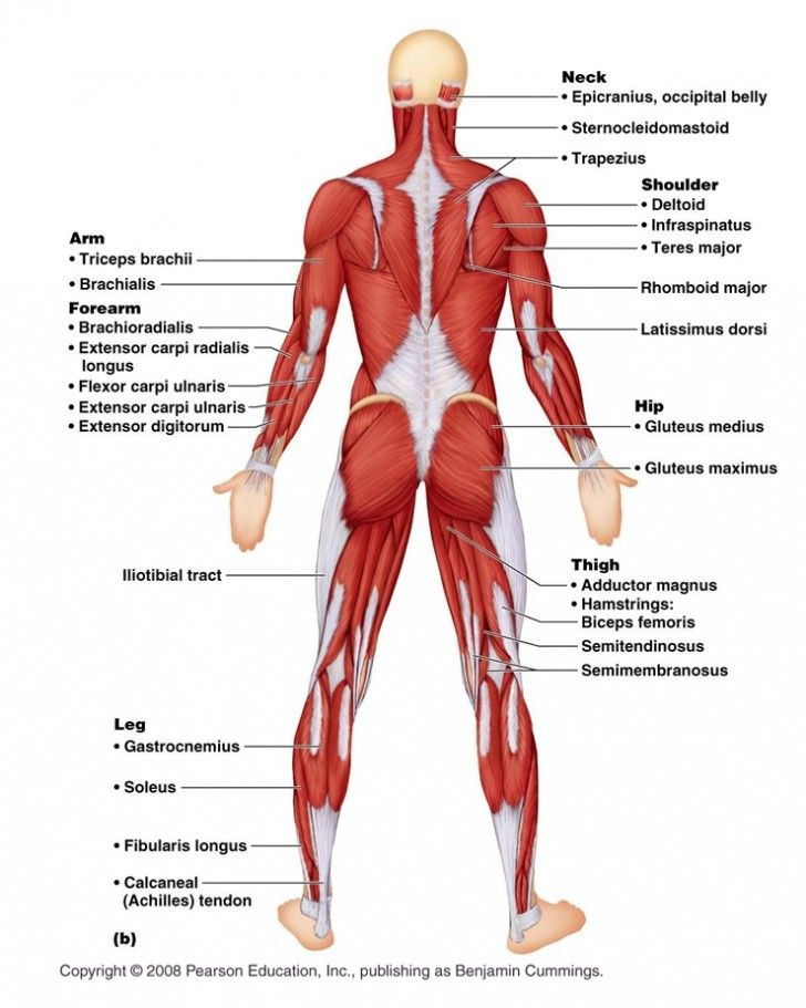 Muscles 6 Muscular System Pictures Labeled Anatomy Posterior